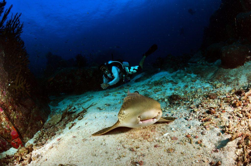 トラフザメとダイバー