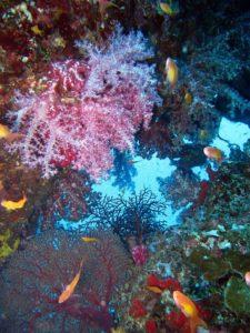 シミラン諸島 ピンク色のソフトコーラル
