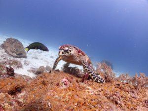 ラチャノイ島 亀が休んでる