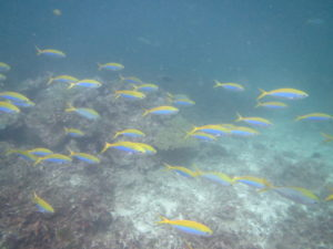 黄色と青色のタカサゴの群れ