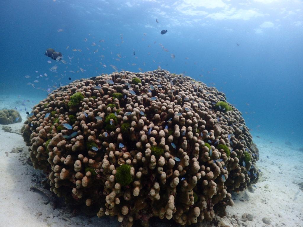 青色のスズメダイが群れる大きなサンゴ礁