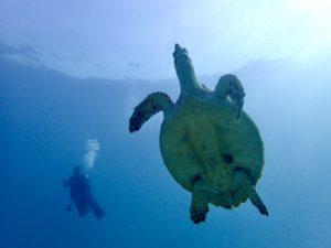 泳ぐウミガメとダイバー