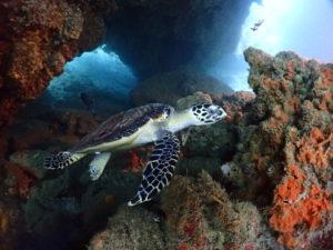 ピピ島のケーブの中を泳ぐウミガメ