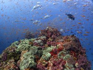 シミラン諸島サンゴ礁と魚