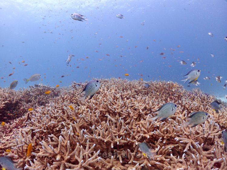 ラチャノイ島の枝サンゴ