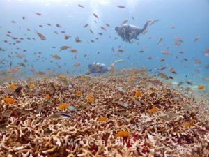 サンゴ礁のススメダイとダイバー