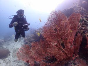 ピピ島のウミウチワ