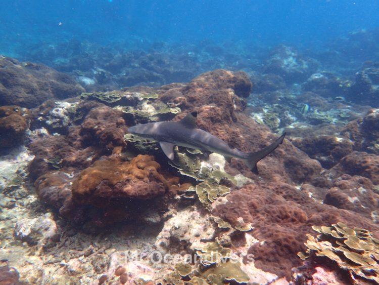 ピピ島ビダノック ブラックチップリーフシャーク2