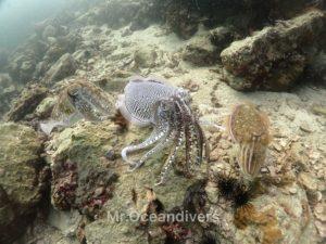シャークポイント コブシメ