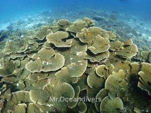プーケットでダイビング ラチャノイ島のサンゴ