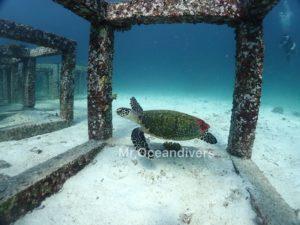 プーケットでダイビング ラチャヤイ島のウミガメ