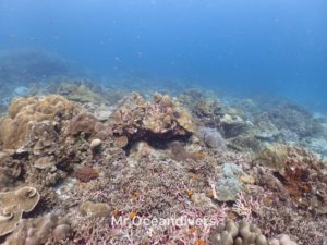 プーケットでダイビング ラチャノイ島ラチャノイベイのサンゴ