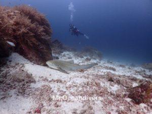プーケットでダイビング ラチャノイ島フリーダムベイのトラフザメ