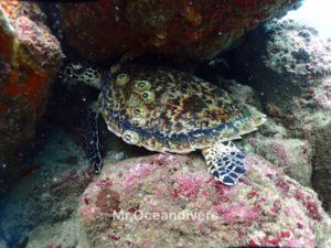 プーケットでダイビング ピピ島で見たカメ