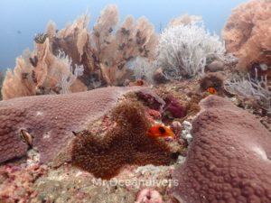 プーケットでダイビング インド洋固有種の「トマトアネモネフィッシュ」