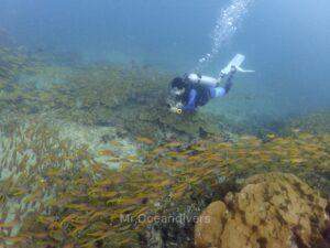 プーケットのピピ島でダイビング キンセンフエダイの群れ