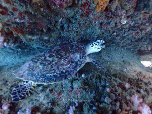 プーケットから行くピピ島でダイビング  カメ
