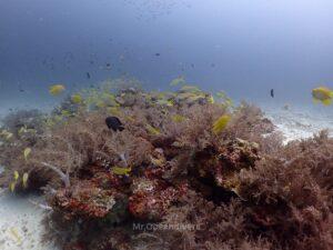 ラチャノイ島でダイビング サンゴとフエダイ