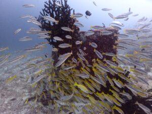 ラチャノイ島でダイビング フエダイの群れ