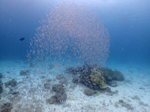 プーケットのラチャノイ島でダイビング 小魚