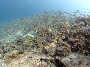 ラチャノイ島でダイビング ラチャヤイ島のホソフエダイ