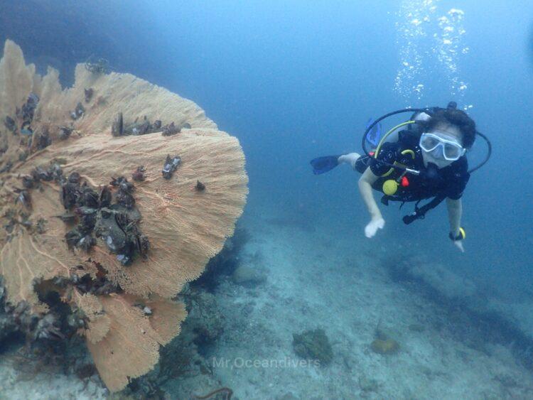 プーケット、ピピ島でダイビング ダイバーとウミウチワ