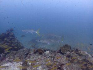 ピピ島でダイビング ピックハンドルバラクーダ