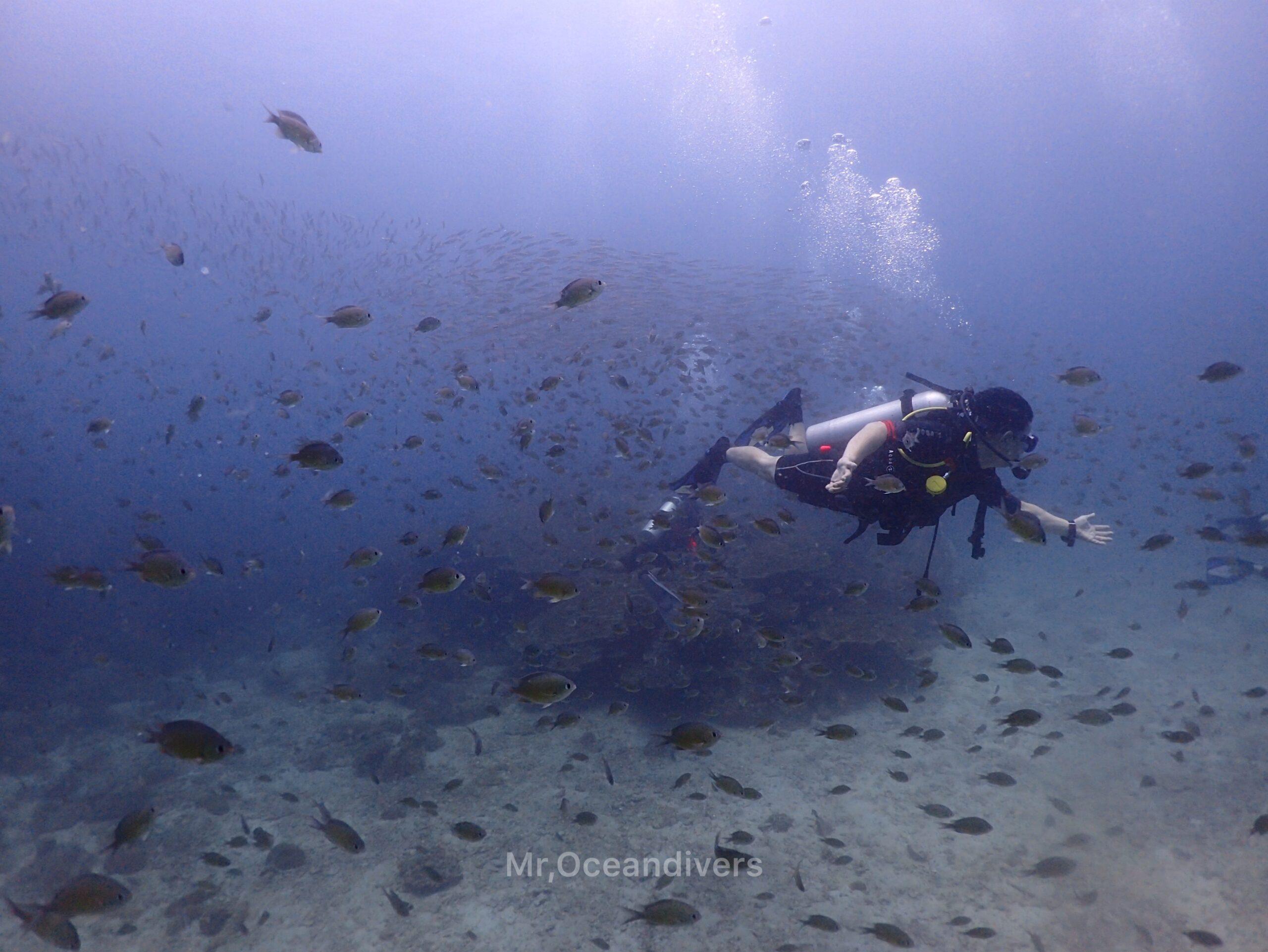 ピピ島でダイビング ダスキークロミスの中を泳ぐダイバー