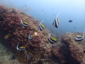 プーケット、ピピ島でダイビング ハタタテダイ