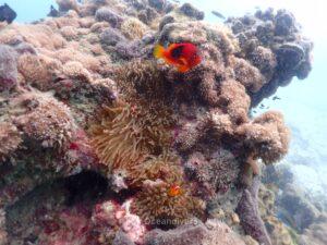 ピピ島でダイビング トマトアネモネフィッシュ