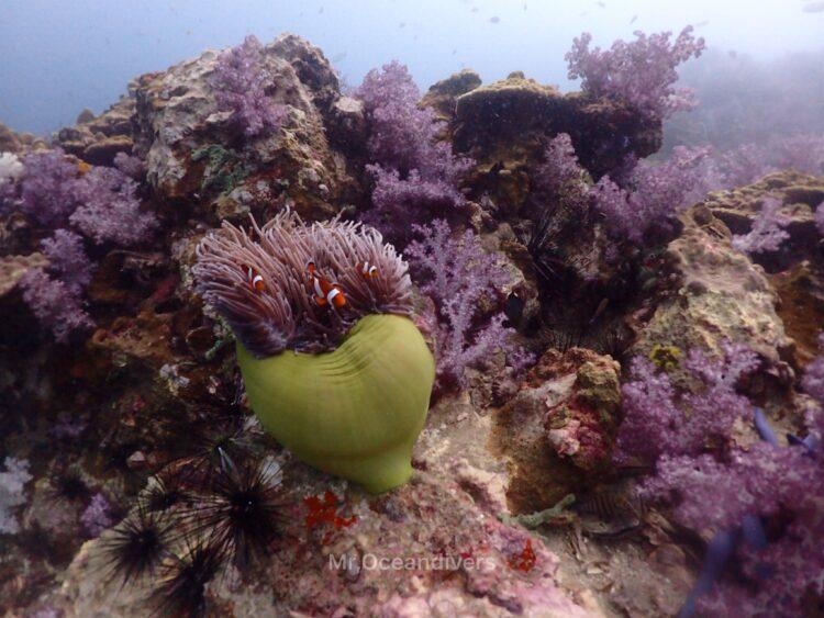 ピピ島でダイビング カクレクマノミとウミトサカ