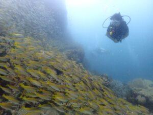 プーケット、ピピ島でダイビング キンセンフエダイの群れ