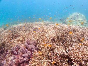 ラチャノイ島でダイビング スズメダイがたくさんのサンゴ