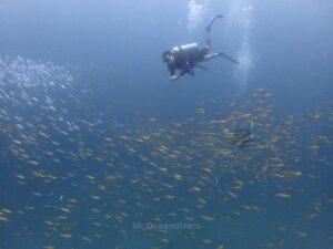 マリンパークでダイビング フュージラーの群れとダイバー