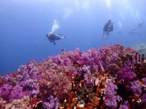 プーケットでダイビング ラチャノイ島サウスチップのサンゴ